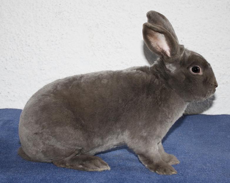 grau silbernes kaninchen